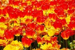 Bloeiende rode en gele tulpen Royalty-vrije Stock Fotografie