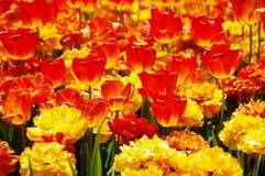 Bloeiende rode en gele tulpen Stock Foto