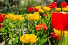 Bloeiende rode en gele tulpen Stock Afbeelding