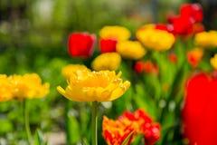 Bloeiende rode en gele tulpen Royalty-vrije Stock Foto