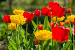 Bloeiende rode en gele tulpen Stock Afbeeldingen