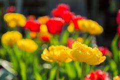 Bloeiende rode en gele tulpen Royalty-vrije Stock Afbeelding