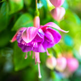 Bloeiende rode en lilac fuchsiakleurig bloem op groene achtergrond, ` Kath Royalty-vrije Stock Foto