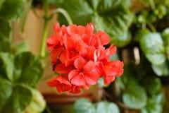 Bloeiende rode geraniums op een achtergrond van groen gebladerte Royalty-vrije Stock Foto's