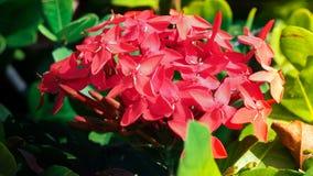 Bloeiende rode Ixora-siamensisbloem Stock Foto's