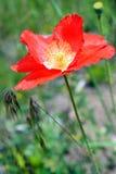 Bloeiende rode papaverbloem Stock Afbeelding