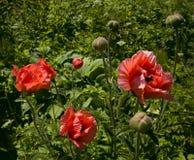 Bloeiende rode papavers op grasachtergrond stock fotografie