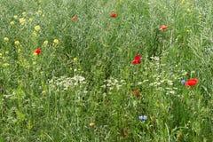 Bloeiende rode papavers op het gebied Stock Foto