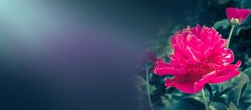 Bloeiende rode pioenbanner lege exemplaarruimte Royalty-vrije Stock Afbeeldingen