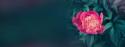 Bloeiende rode pioenbanner lege exemplaarruimte Stock Foto's