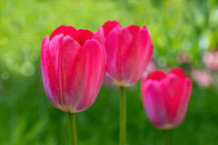 Bloeiende rode tulpen Stock Fotografie