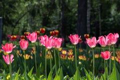Bloeiende rode tulpen Stock Foto's