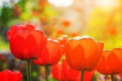 Bloeiende rode tulpen in de lente Stock Afbeeldingen