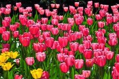 Bloeiende rode tulpen in de lente Royalty-vrije Stock Foto's