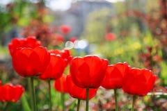 Bloeiende rode tulpen in de lente Stock Foto's