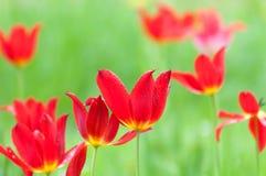 Bloeiende rode tulpen in de lente na een regendouche Stock Afbeeldingen
