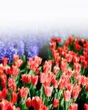 Bloeiende rode tulpen in het park binnen Stock Afbeelding