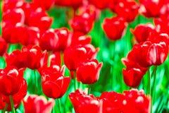 Bloeiende rode tulpen in Keukenhof-bloemtuin Populaire toeristenplaats Lisse, Holland, Nederland Selectieve nadruk Stock Foto's