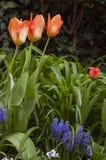 Bloeiende rode tulpen met blauwe bloemen stock foto's