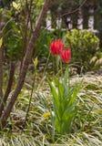 Bloeiende rode tulpen met gras en onduidelijk beeldstruiken stock fotografie
