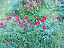 Bloeiende rode tulpen onder groen gras Royalty-vrije Stock Afbeeldingen
