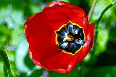 Bloeiende rode tulpen op een zonnige dag Stock Foto's