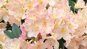 Bloeiende Rododendron stock videobeelden