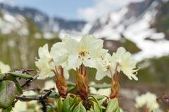 Bloeiende Rododendron Aureum op achtergrond van bergen Royalty-vrije Stock Fotografie