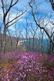 Bloeiende rododendron op de kusten van de baai stock fotografie