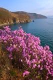 Bloeiende rododendron op de kusten van de Baai van Nakhodka royalty-vrije stock afbeeldingen