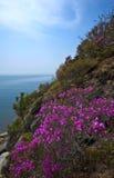 Bloeiende rododendron op de kusten van de Baai van Nakhodka stock foto's