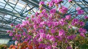 Bloeiende rododendronbloemen in de serre stock footage