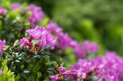 Bloeiende rododendronmyrtifolium Stock Fotografie