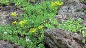 Bloeiende rotstuin in de lente Bloemen die over rotsvormingen bloeien in park stock videobeelden
