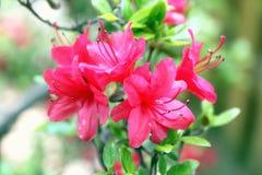 Bloeiende roze azalea   Royalty-vrije Stock Foto's