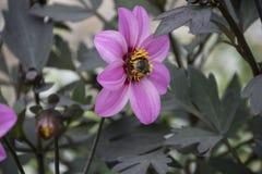 Bloeiende roze bloem - Anemone Coronaria, Kroonanemoon royalty-vrije stock foto's