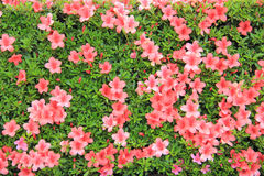 Bloeiende roze bloemen Stock Foto