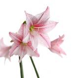 Bloeiende roze bloemen op witte achtergrond (Sterlelie - Hippeastr Stock Foto's