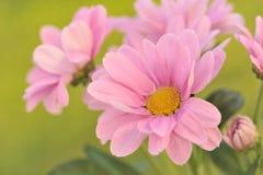 Bloeiende roze chrysanten. Stock Foto's