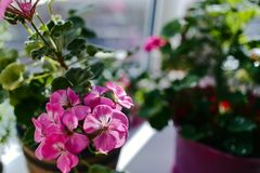 Bloeiende roze geranium op de vensterbank stock foto