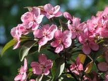 Bloeiende roze kers, de lente Royalty-vrije Stock Fotografie