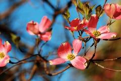 Bloeiende Roze Kornoelje Stock Afbeelding