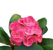 Bloeiende roze kroon van doornenbloem met dauwdalingen stock foto's