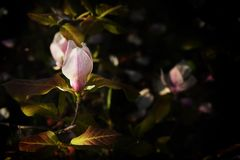 Bloeiende roze magnolia Donkere foto in de de lentetuin stock fotografie