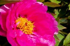 Bloeiende roze pioen Stock Foto's