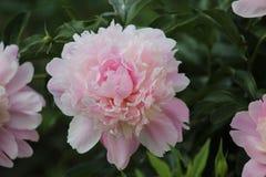 Bloeiende roze pioenen in de tuin Stock Afbeelding