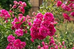 Bloeiende roze rozen en stegen in een oud Engels park stock afbeelding