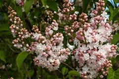 Bloeiende roze sering in het botanische park Stock Foto