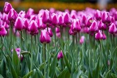 Bloeiende roze tulpen en vlinder royalty-vrije stock afbeeldingen