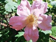Bloeiende rozebottel stock afbeeldingen